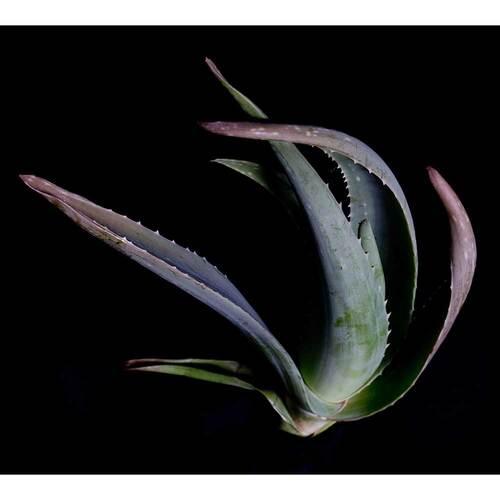 Aloe Vera Gel pur ohne Duft - 2